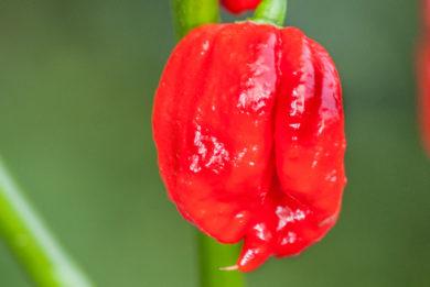 Peruvian Dark Red - Capsicum baccatum
