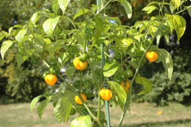 Lincoln Bell Sweet - Capsicum annuum