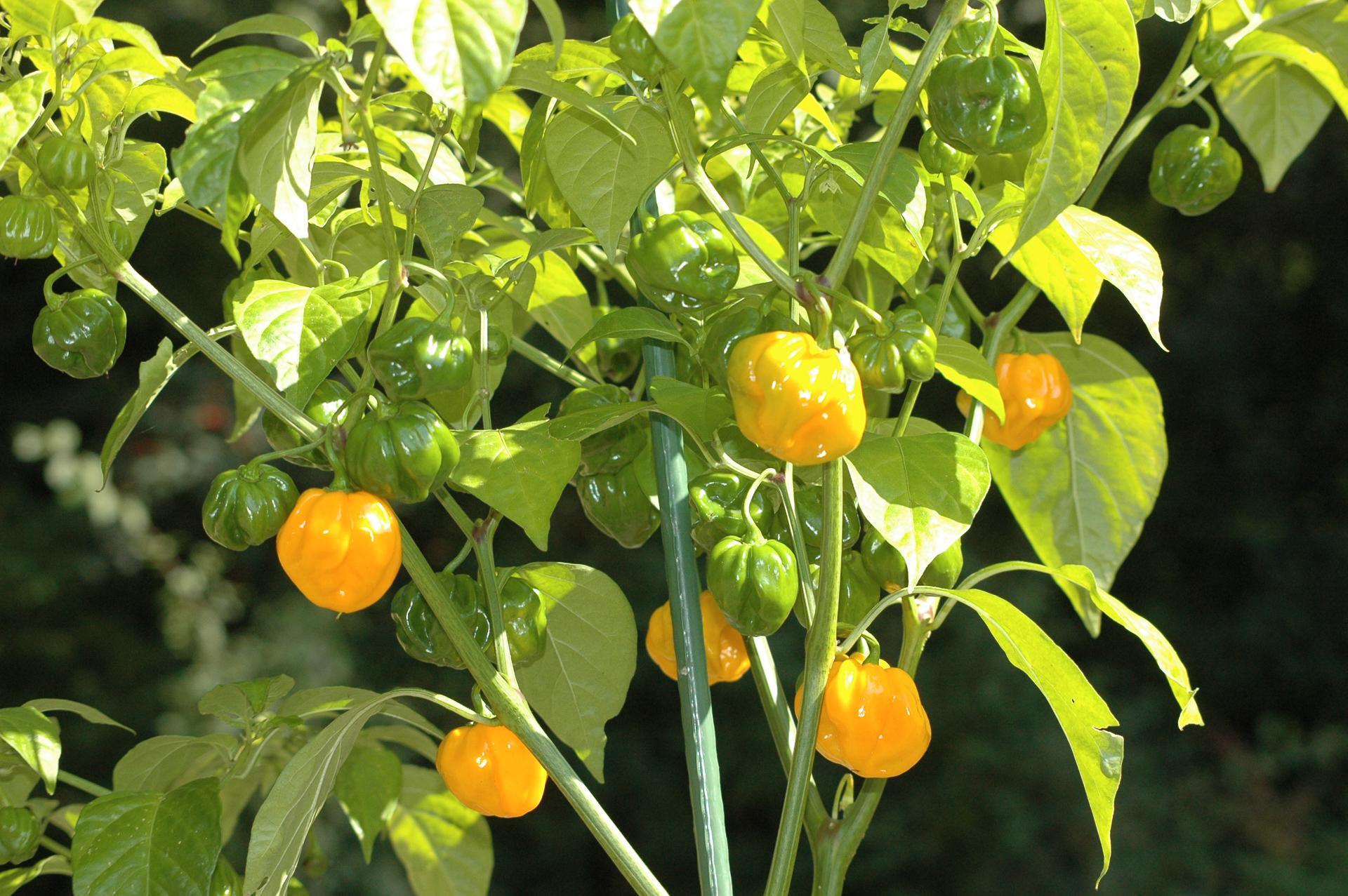 BRA 00036147-7 - Capsicum sp. - Chilisorte