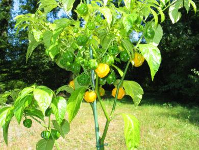 Local - Capsicum annuum - variedad de chile