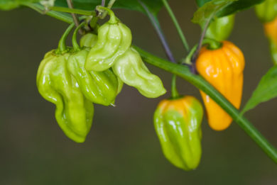 Pfefferone - Capsicum sp.