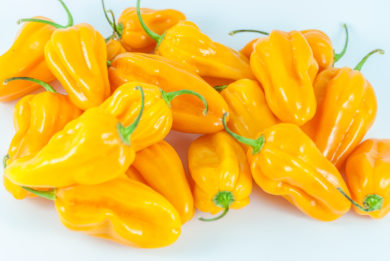 Hot Portugal - Capsicum annuum - variedad de chile