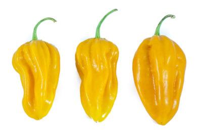 Pimento Grande - Capsicum sp.