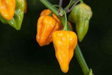 Pimenta - Capsicum annuum
