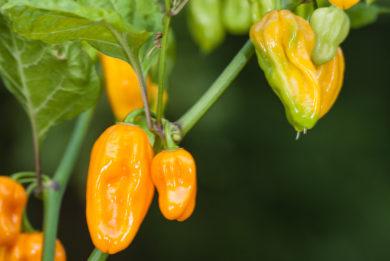 Morgold - Capsicum sp.