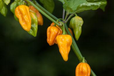 Kalocsai 20 - Capsicum annuum - variedad de chile