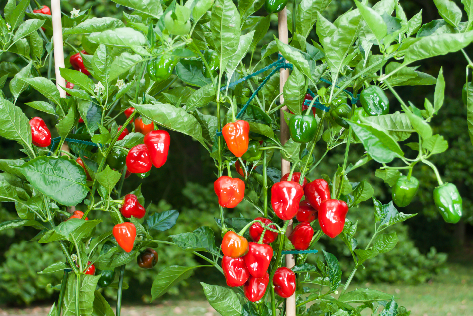 Firecracker - Capsicum annuum - Chilisorte