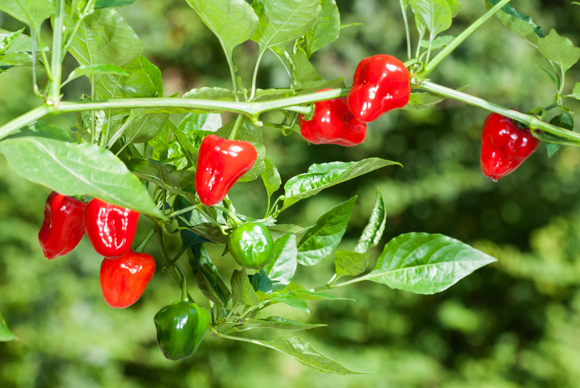 Pimenta - Capsicum sp. - Chilisorte