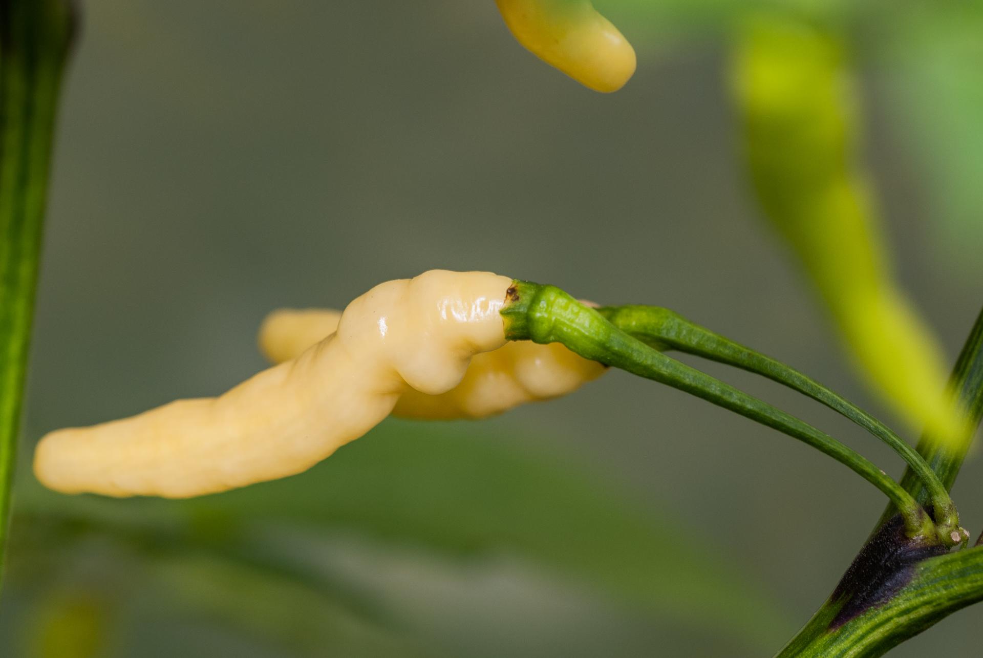 PI 339049 - Capsicum annuum - Chilisorte