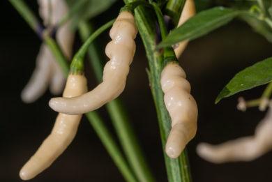 Bulano Costeno - Capsicum annuum - variedad de chile