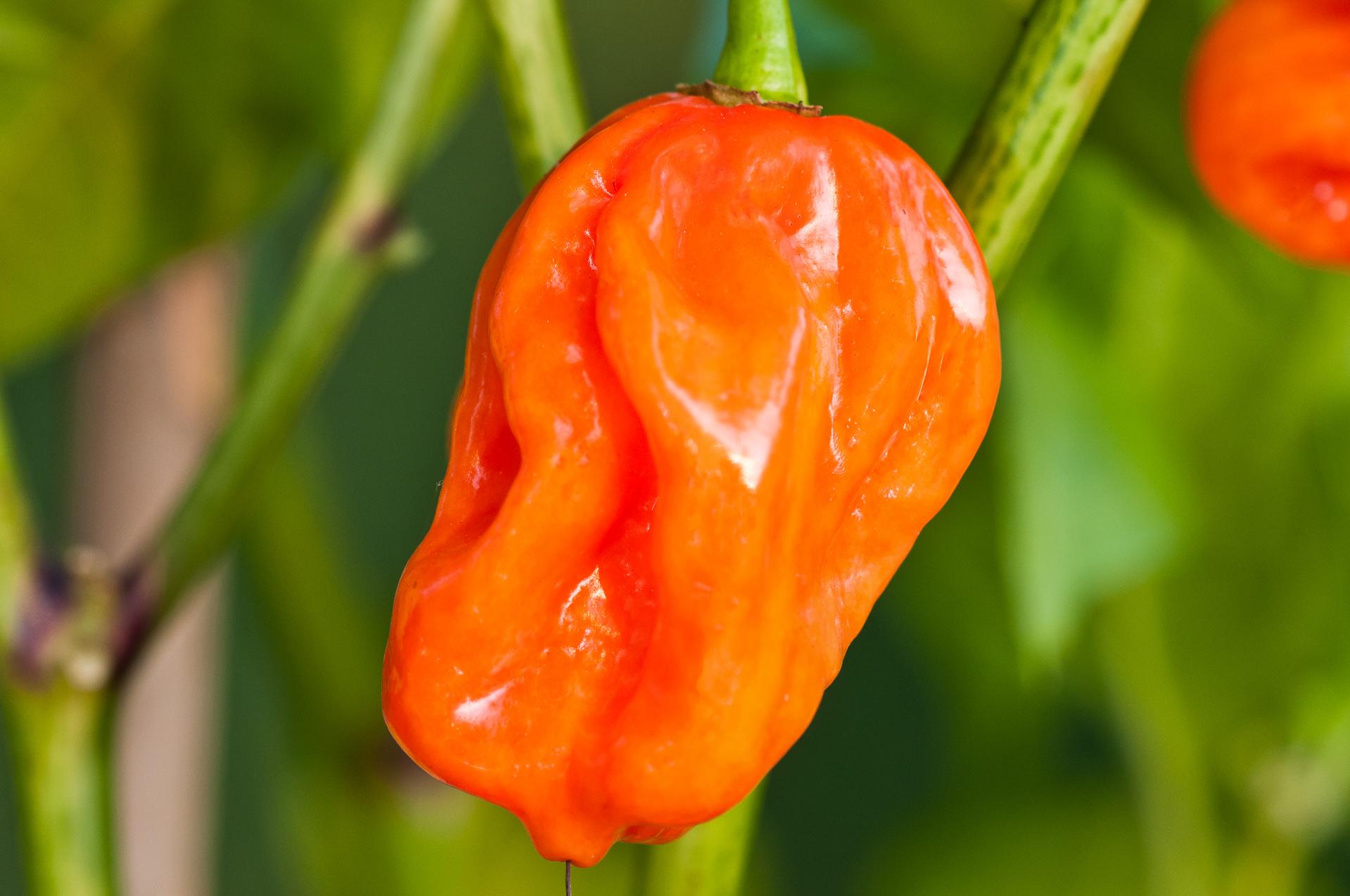 NC082917 - Capsicum annuum - variedad de chile