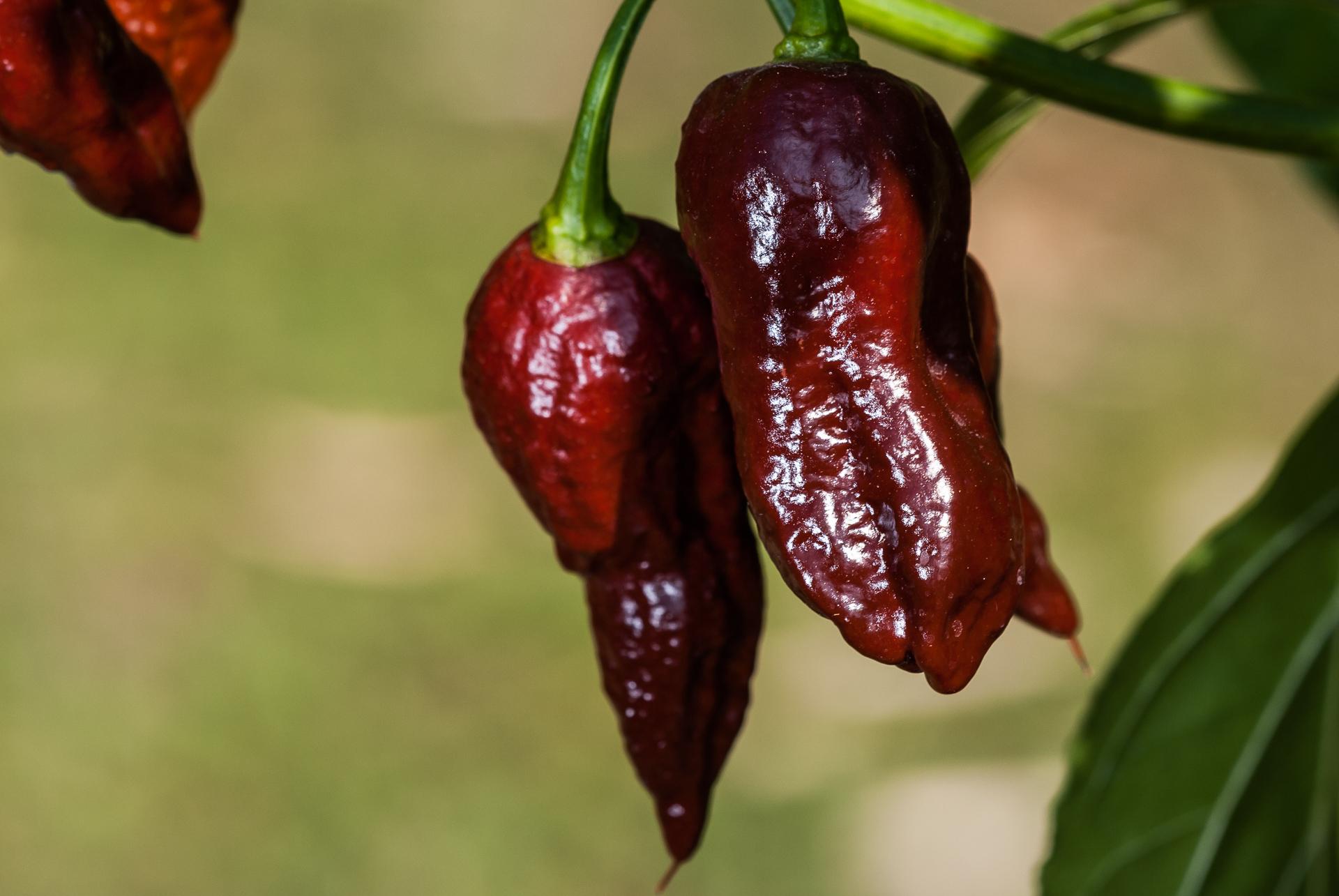 CAP 746 - Capsicum annuum - variedad de chile