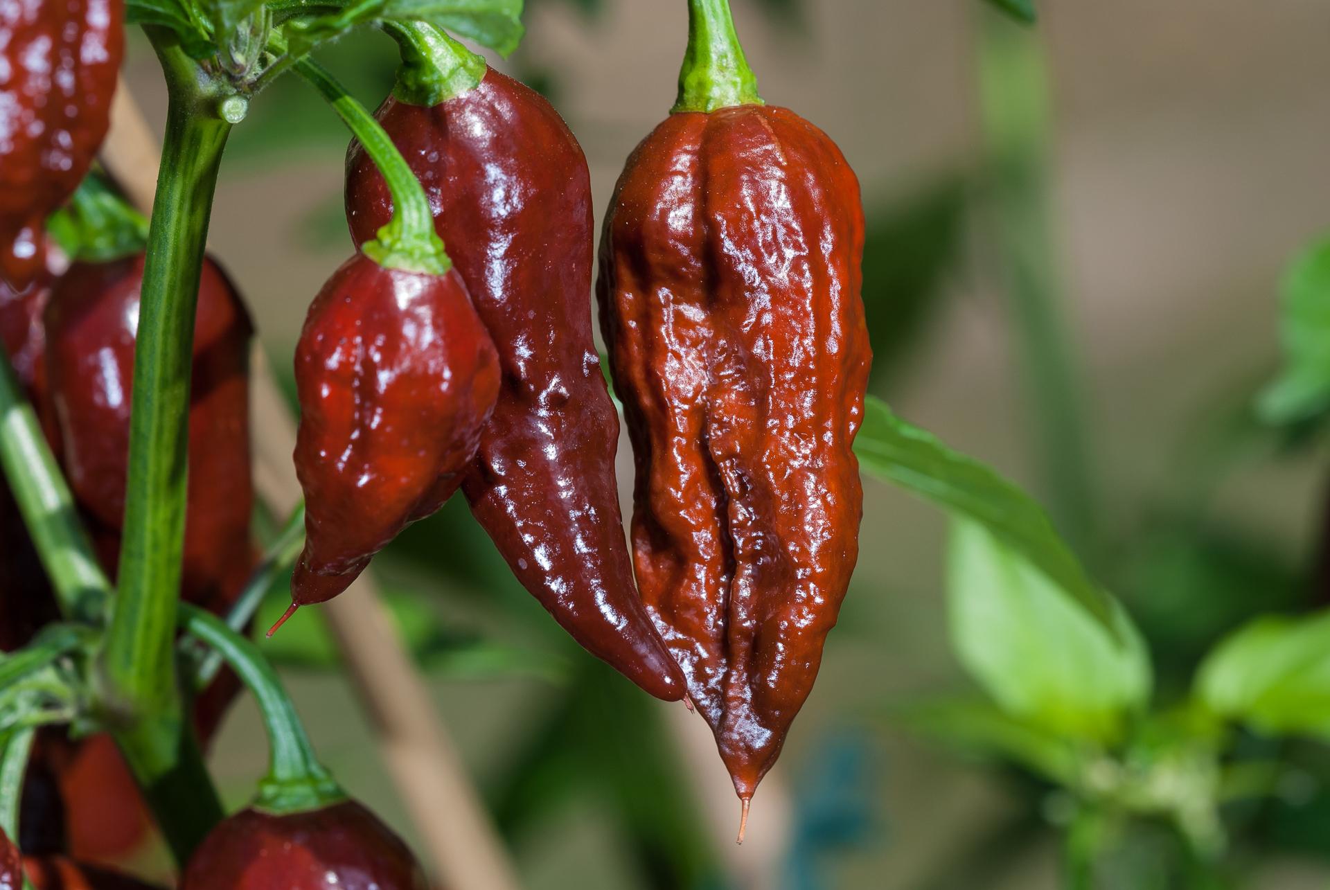 Chile - Capsicum annuum - Chilisorte