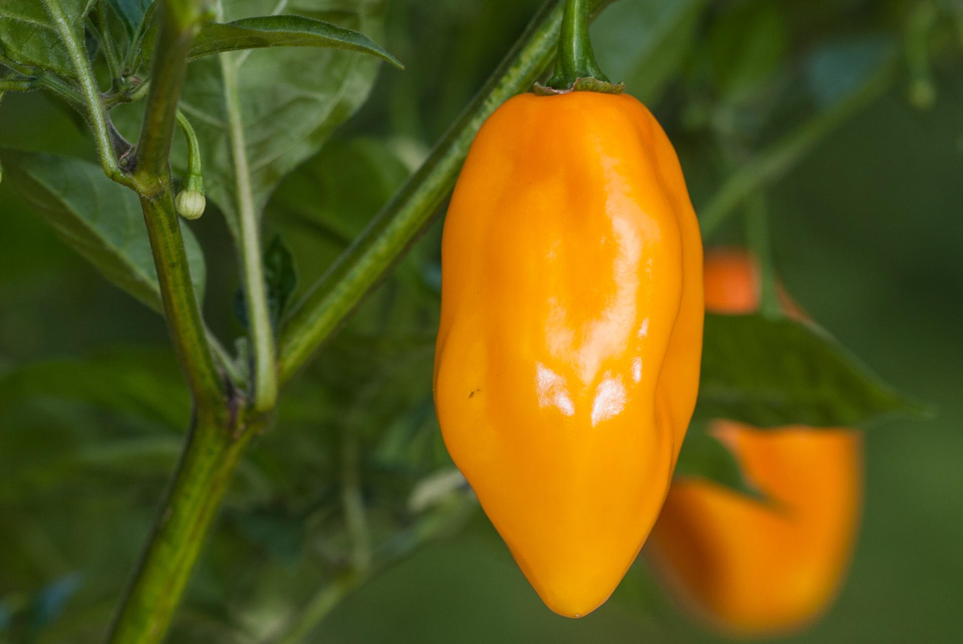 Pebrera Largo - Capsicum annuum - Chilisorte