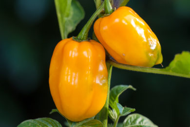 Siling Labuyo - Capsicum frutescens