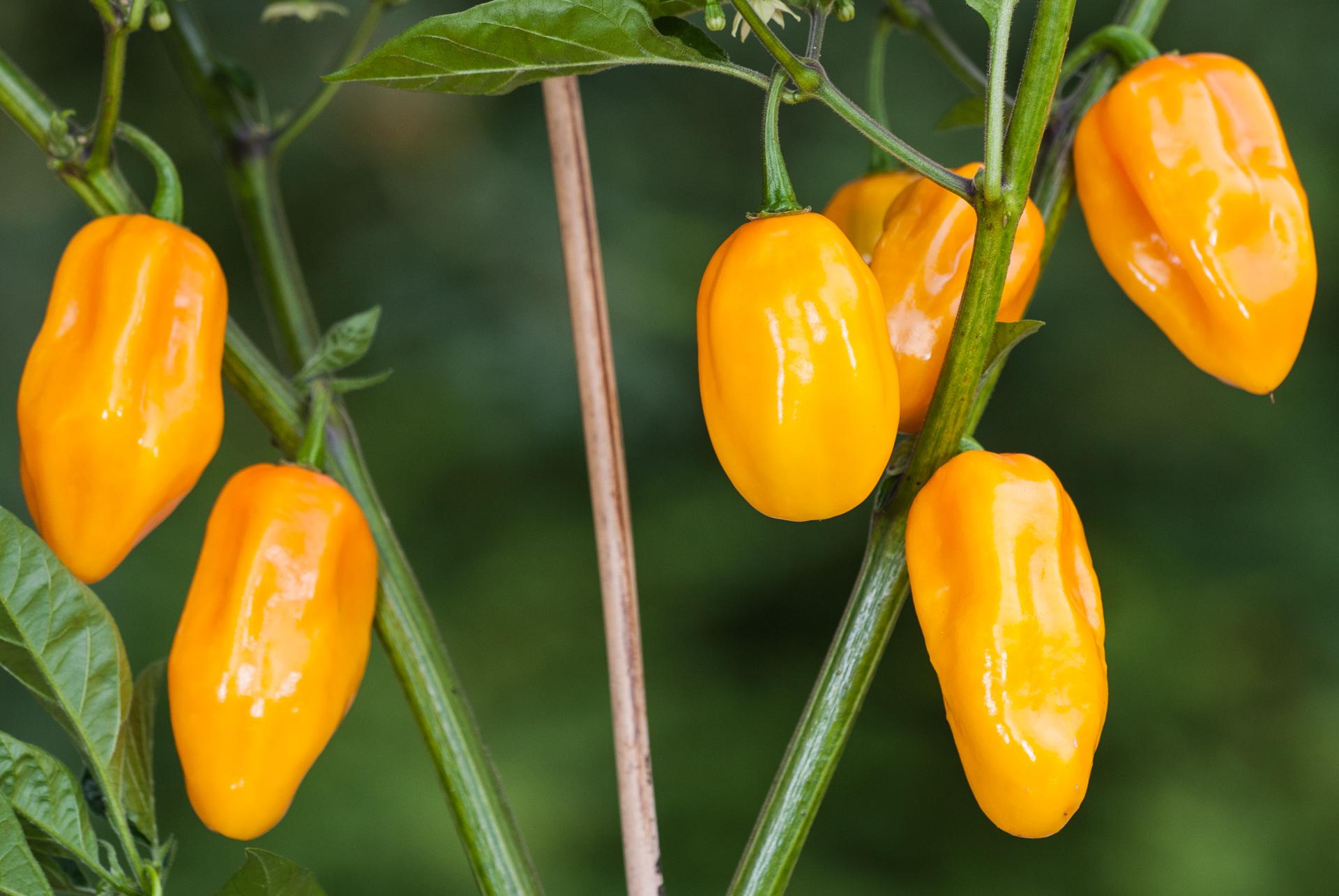 Bukit Gambir - Capsicum annuum - Chilisorte