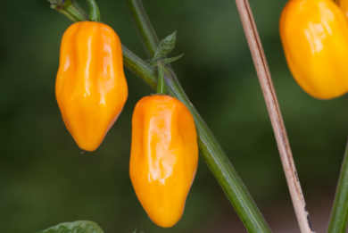 Haykakan Deghin - Capsicum annuum - variedad de chile