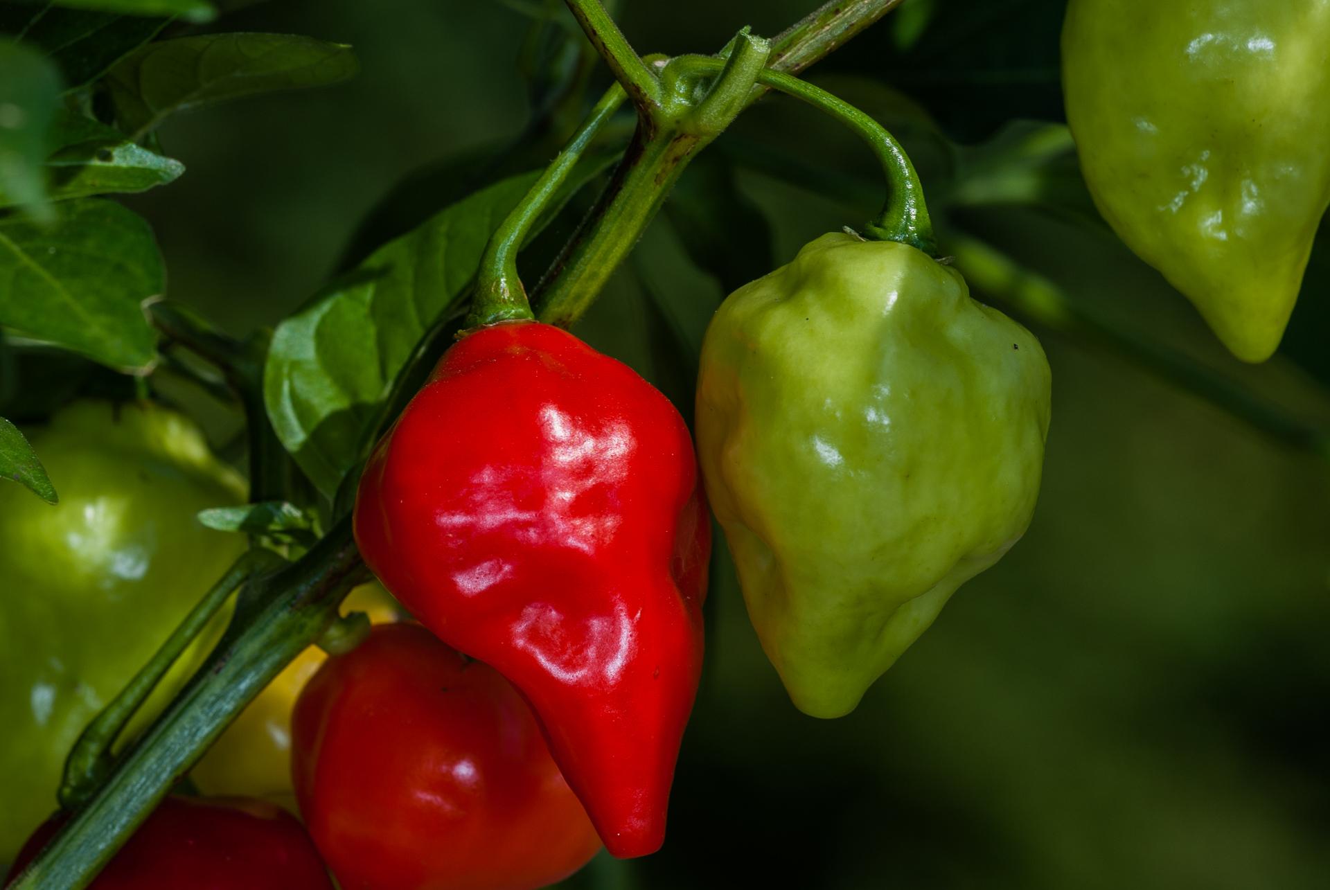 Scotch Bonnet - Capsicum chinense - Chilisorte