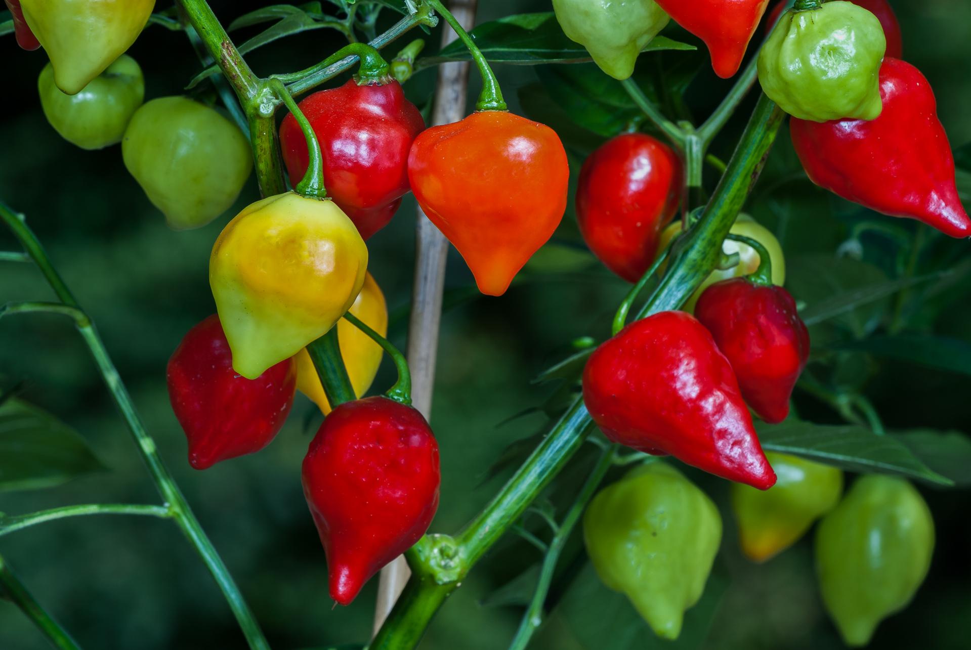 VI029574 - Capsicum frutescens - Chilisorte