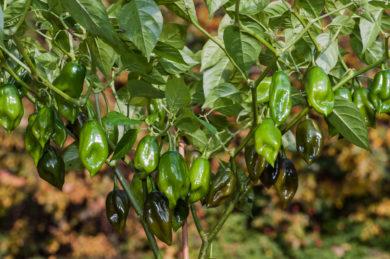 Csokros Felallo - Capsicum annuum - variedad de chile