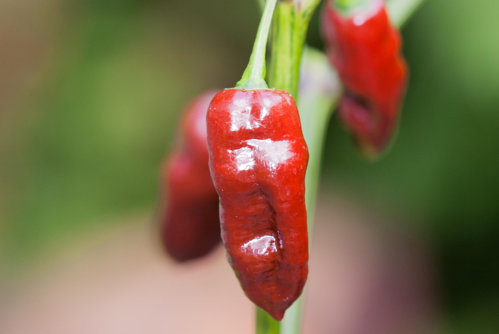 VI028807 - Capsicum baccatum - Chilisorte