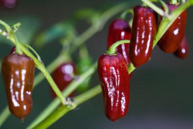 Buketna Feferonka - Capsicum annuum - variedad de chile