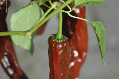 Kerkáskápolnai Tf - Capsicum annuum - variedad de chile