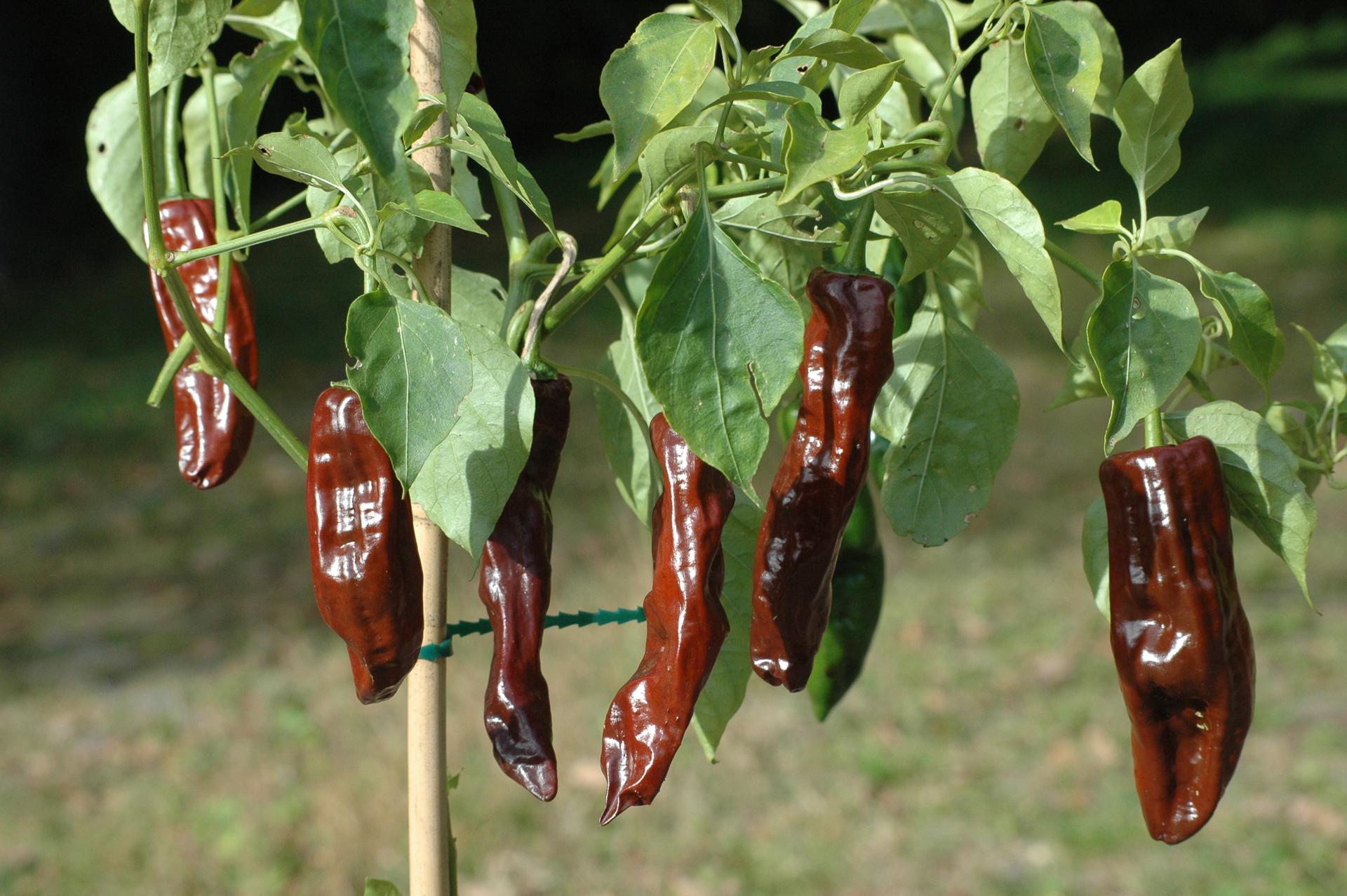 Chili Padi - Capsicum sp. - Chilisorte