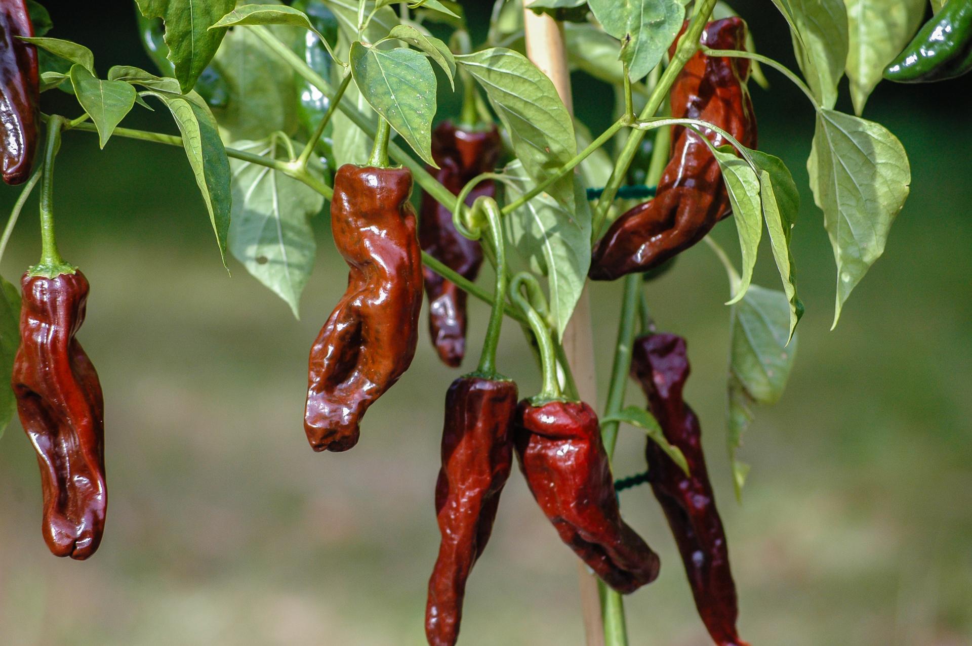 Dányi Tf - Capsicum annuum - variedad de chile