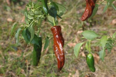 Pimenta malagueta - Capsicum frutescens