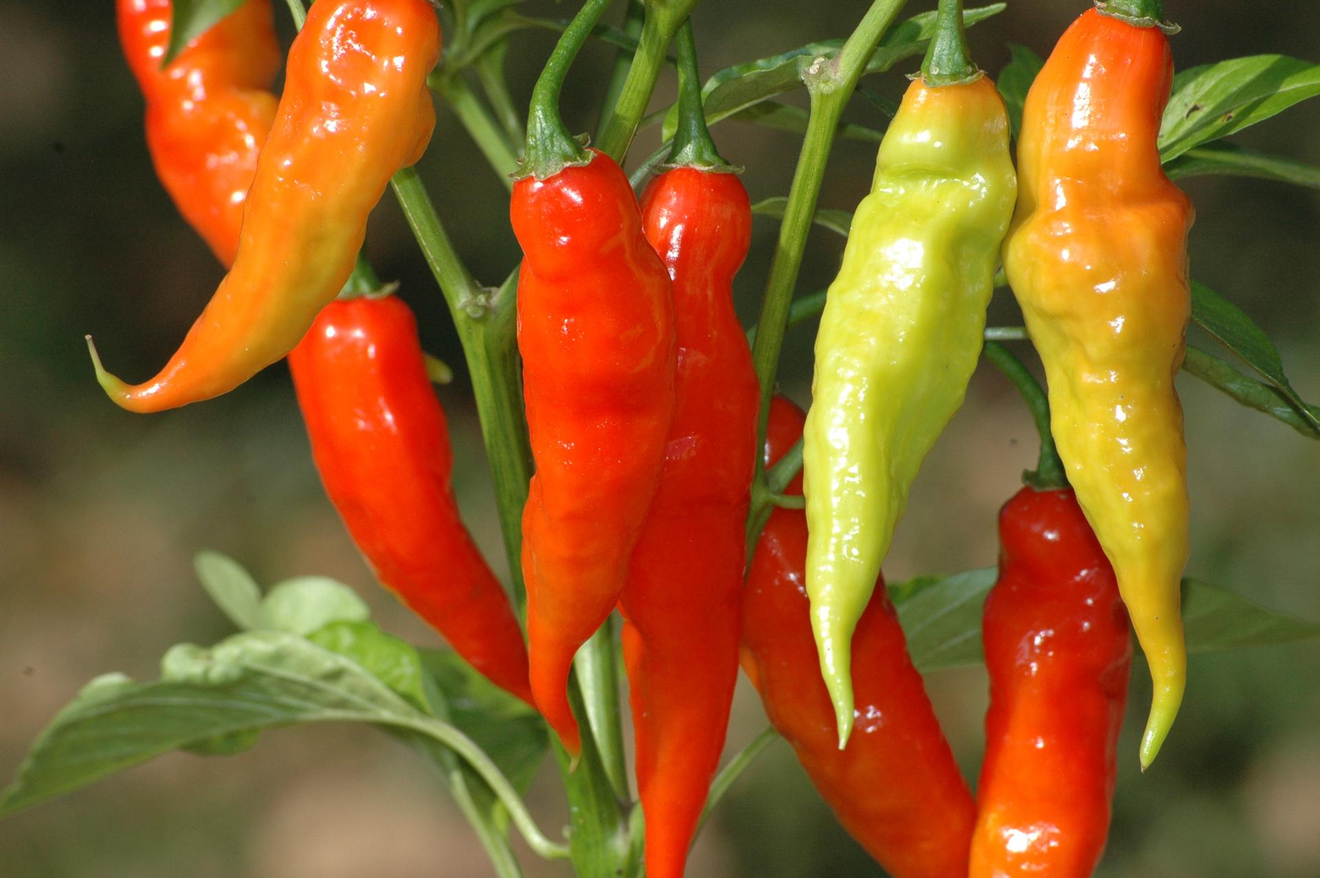 Phrik Lueang - Capsicum annuum - Chilisorte