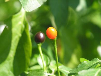 Mirch - Capsicum annuum - variedad de chile