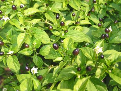 Chile Congo de Nicaragua - Capsicum sp.
