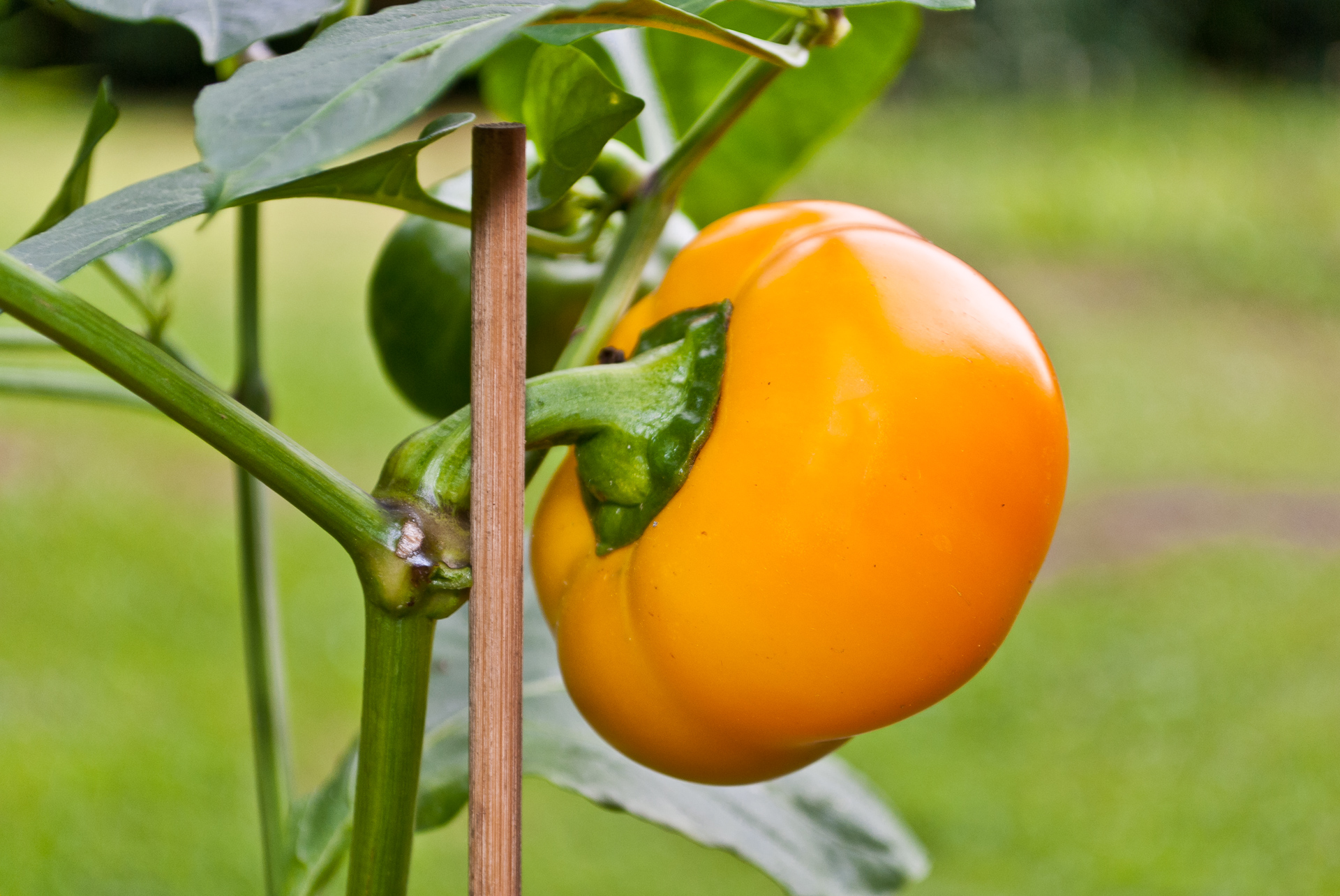 Grif 9177 - Capsicum annuum - Chilisorte