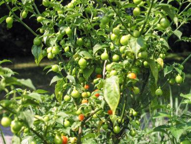 Phrik Hom - Capsicum frutescens