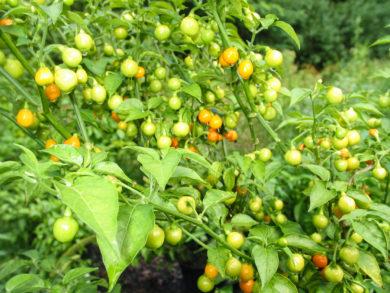 Aji - Capsicum frutescens