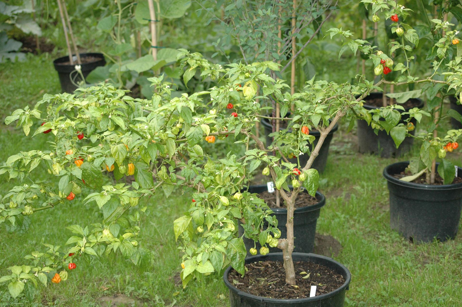 Nush 55 - Capsicum annuum - variedad de chile