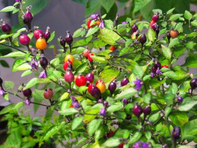 Bido Tacana - Capsicum chinense