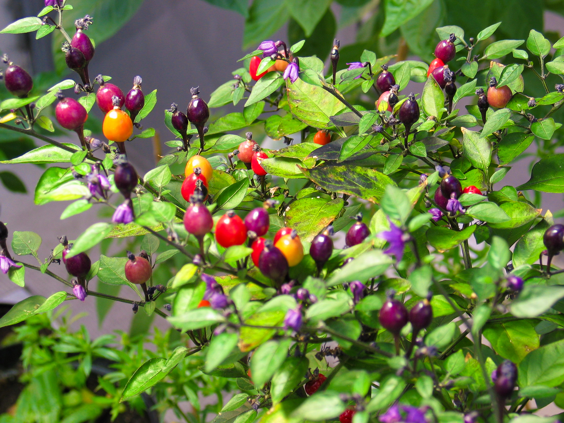 VI029622 - Capsicum frutescens - Chilisorte