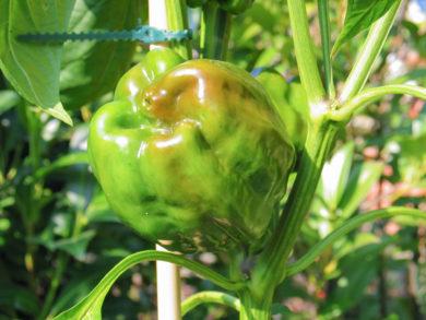 Grif 9336 - Capsicum frutescens