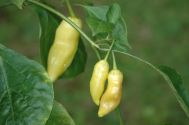 Chinese Five Color - Capsicum sp.