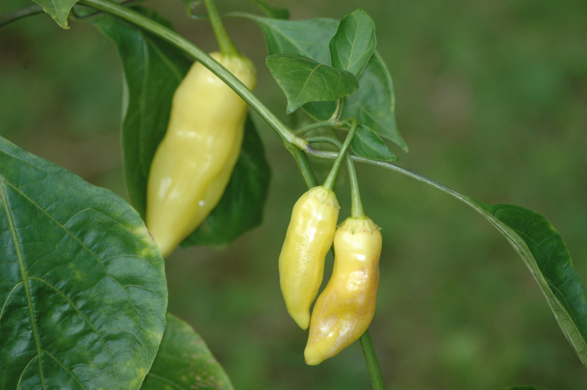 VI027494 - Capsicum annuum - Chilisorte