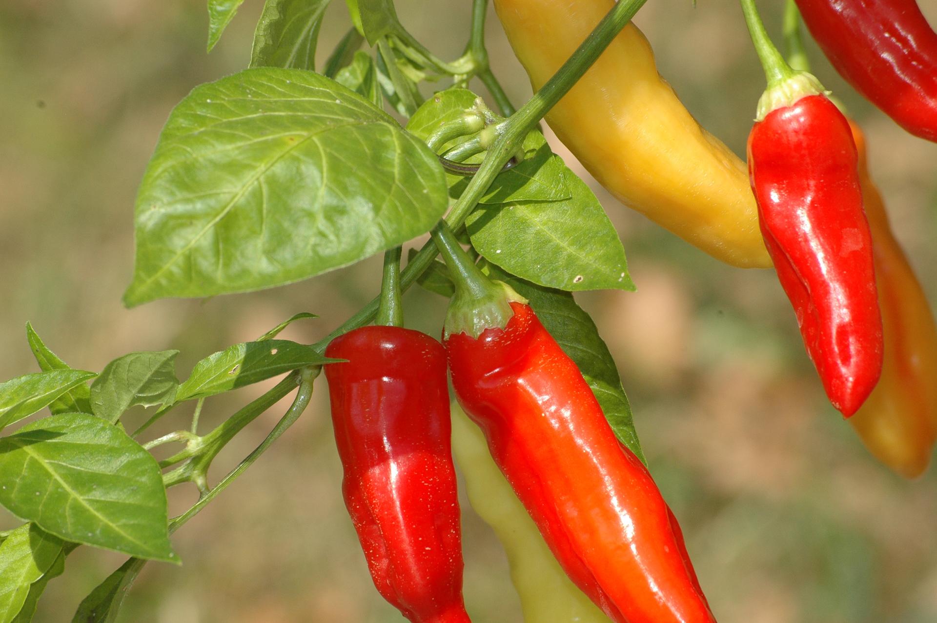 Omrc Maicu - Capsicum annuum - variedad de chile
