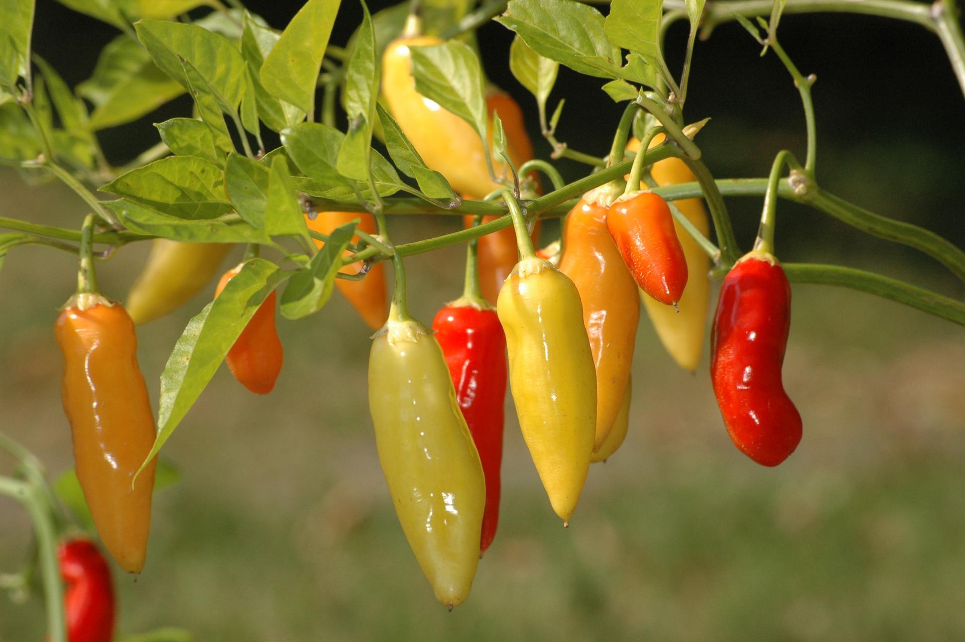 Magyar Eros - Capsicum annuum - variedad de chile