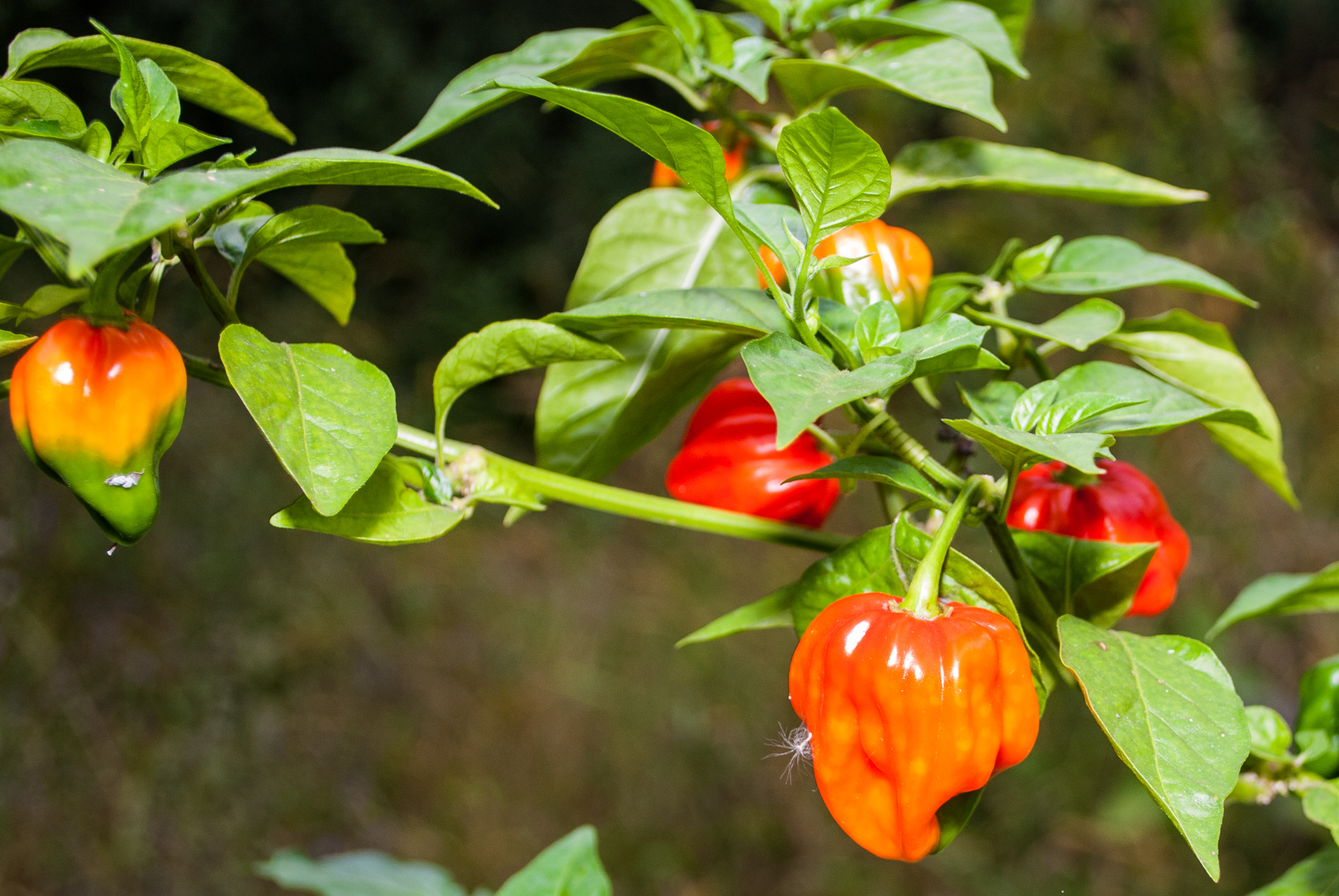 Litcen13 202 - Capsicum annuum - Chilisorte