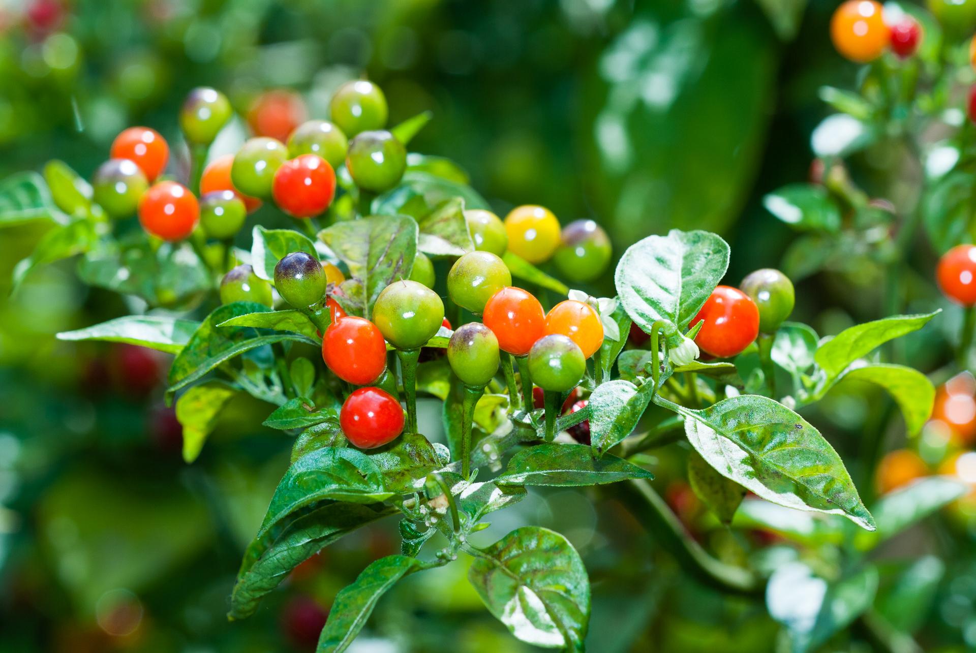 Karmina - Capsicum annuum - variedad de chile