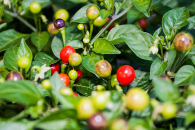 Cayenne pepper - Capsicum annuum