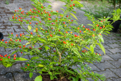 Florida Giant - Capsicum annuum