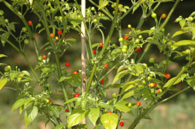 Trinidad Yellow 7 Pod 7 Pot - Capsicum chinense