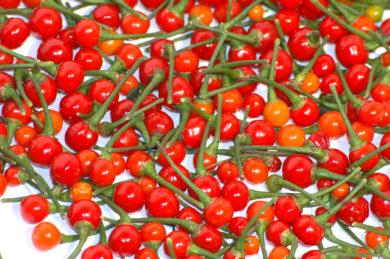 Early Manchurian Yellow - Capsicum annuum - variedad de chile